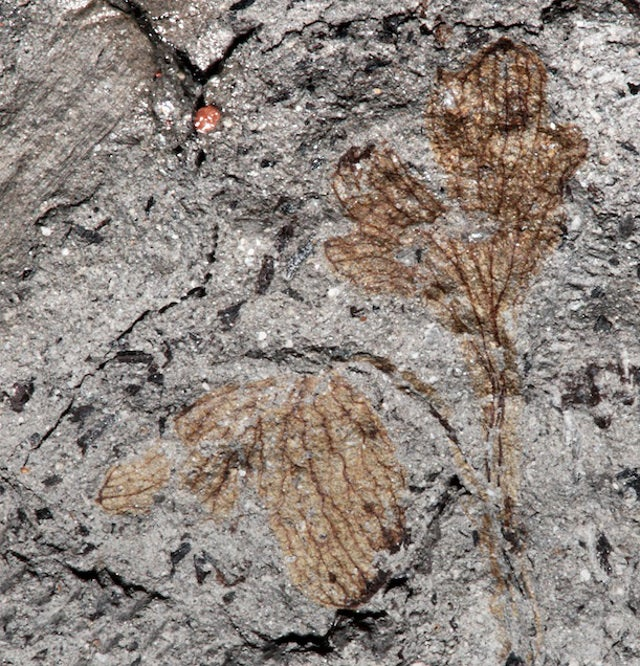 This could be the earliest flowering plant ever found in North America