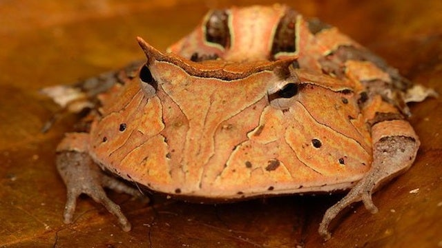 Scientists Discover a New Pac-Man Frog