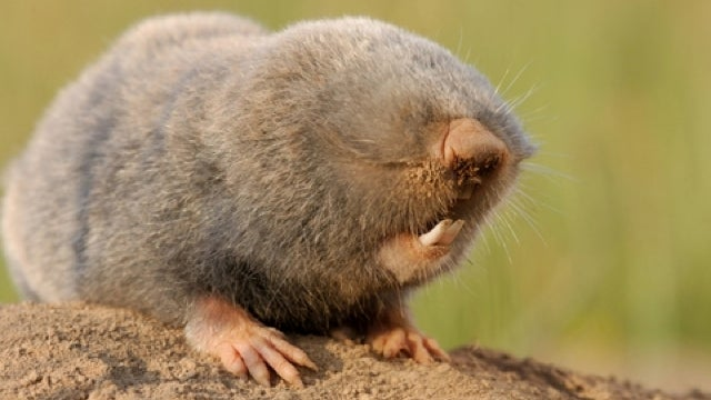 Why blind mole rats don't get cancer