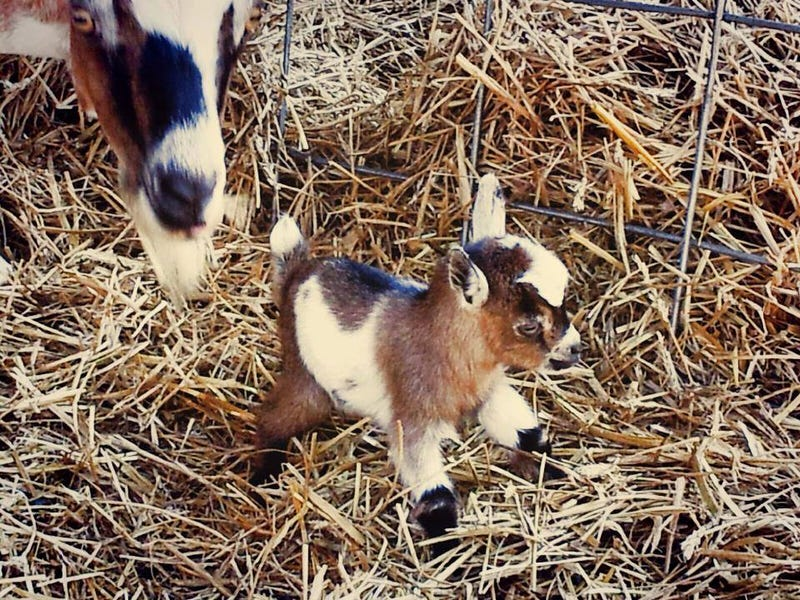LOOK AT THIS FUCKING ADORABLE BABY GOAT