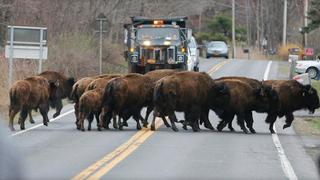 15 Buffalo Escape Into American Wild; Are Quickly Shot and Killed