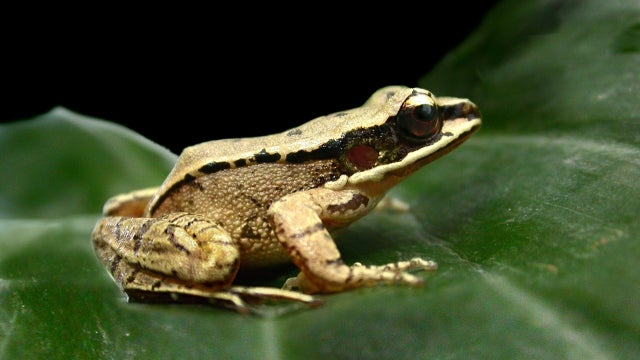 Female frogs literally can't hear half the things that male frogs say