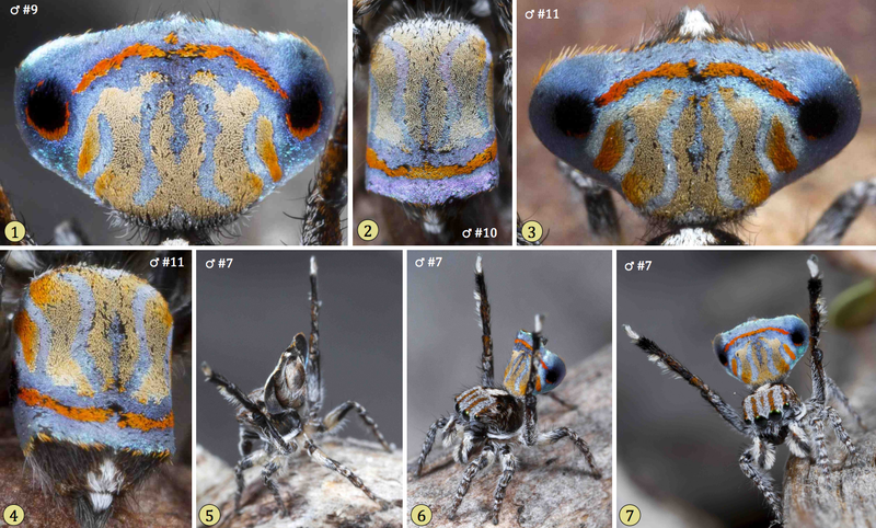 Scientists Found Even More of Those Crazy-Looking Peacock Spiders