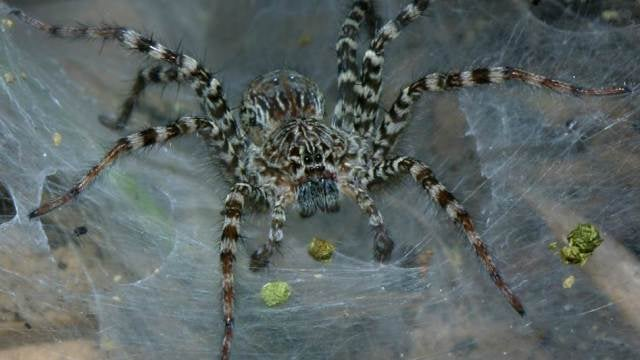 The toxins in spider venom could cure pain, disease
