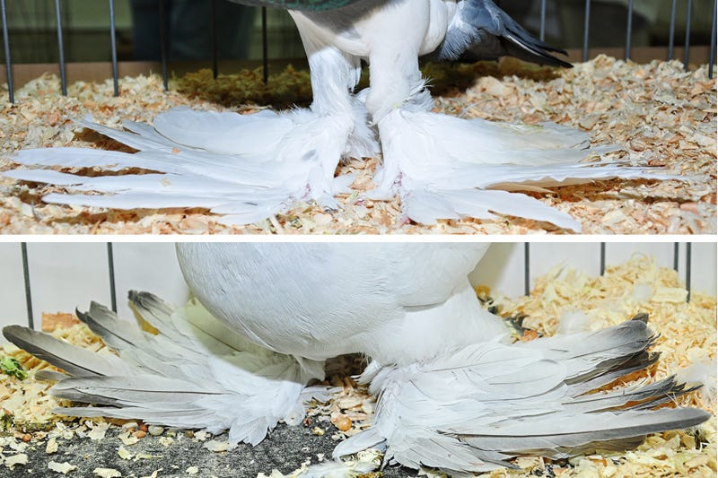 What Pigeons Teach Us About Convergent Evolution