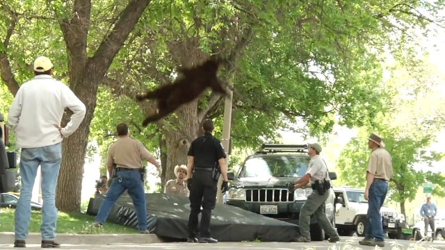 Here's A Photo of A Bear Falling From a Tree After Being Tranquilized