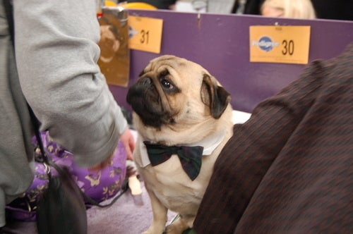 Dogging It At Westminster