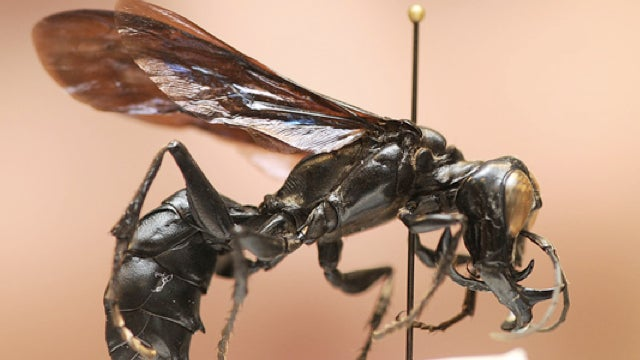 Meet Indonesia's H.R. Giger-like warrior wasp