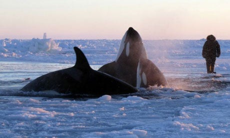 An entire pod of orca whales may be hopelessly trapped under arctic sea ice [UPDATED]