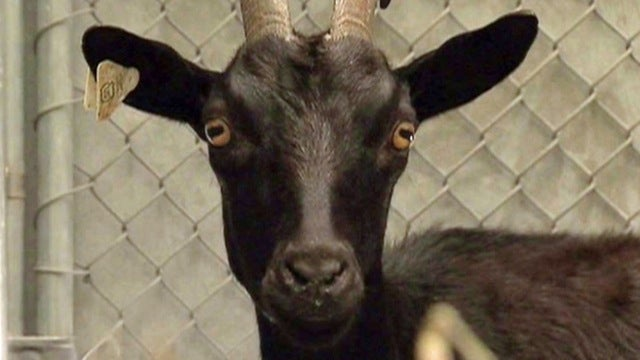 Goat Escapes Slaughterhouse Truck, Wreaks Havoc on New Jersey Bridge