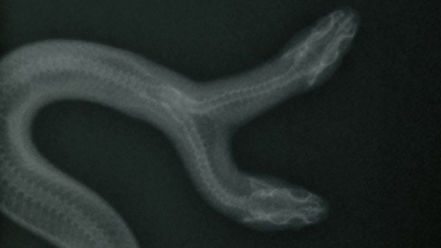 X-Ray of Two-Headed Snake Is Your Mythical Creature Come to Life of the Day