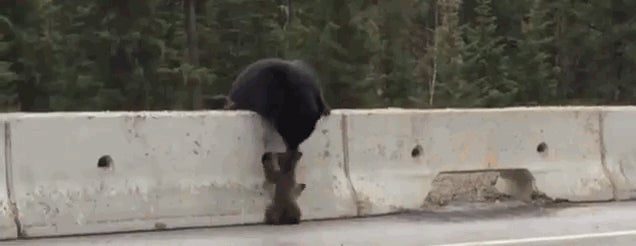Mother Bear Heroically Saves Cub From Busy Highway