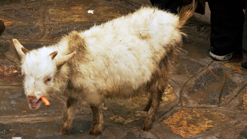 I Can't Stop Looking at This Weird Chinese Goat