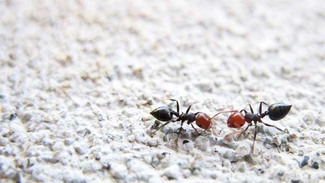 'Asexual' Ants Actually Total Whores