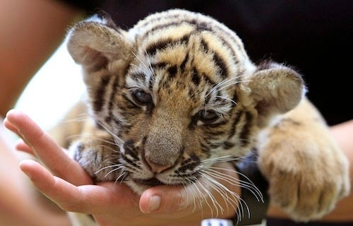 Officials Find Tiger Cub Smuggled Amongst Stuffed Animals