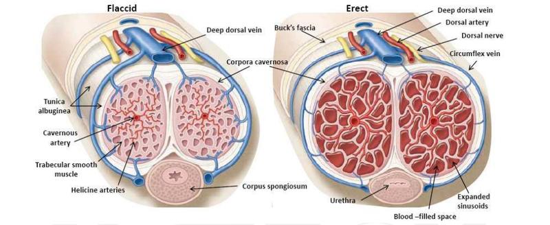 Penis enlarge exercise