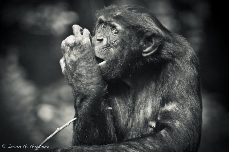How Do You Treat Mental Illness in a Bonobo?