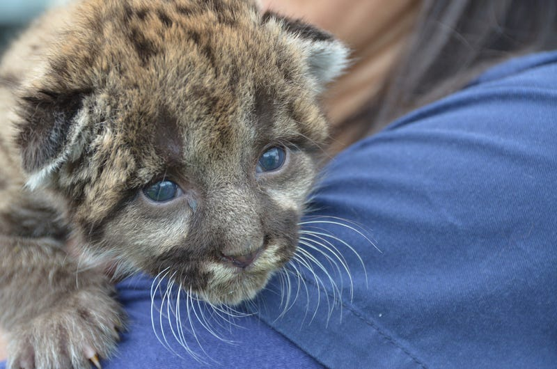Is This Florida Panther Kitten Cute or Not? A Gawker Internal Debate