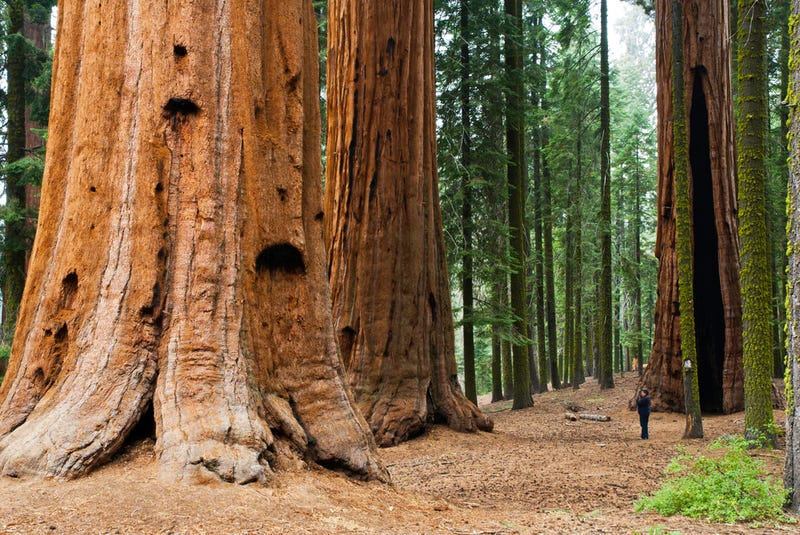 This Nonprofit Is Quietly Cloning the World's Largest (and Oldest) Trees