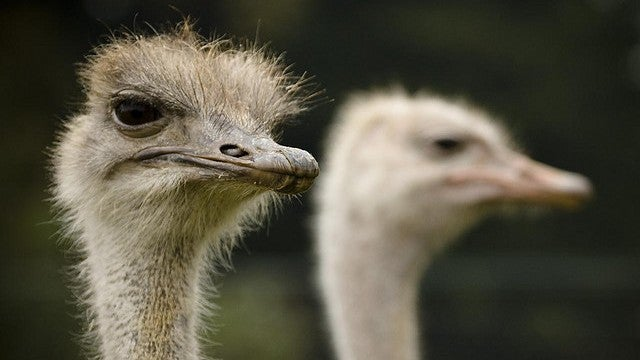 Ostriches and their bloodless erections solve a centuries-old mystery
