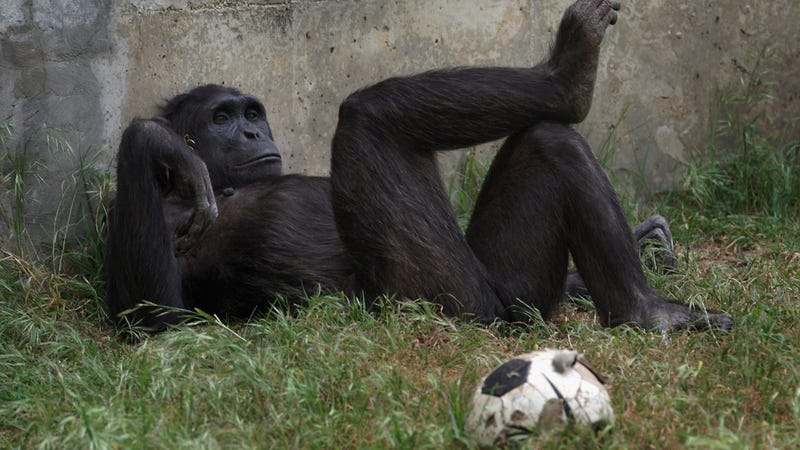 Chimps, Like People, May Experience Midlife Crises, Might Buy Chimp Convertibles and Get Chimp Hairplugs