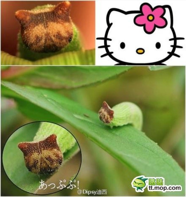 A Caterpillar That People Say Looks Like Hello Kitty