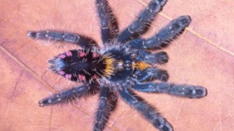 Nine new species of technicolor, tree-climbing tarantulas discovered