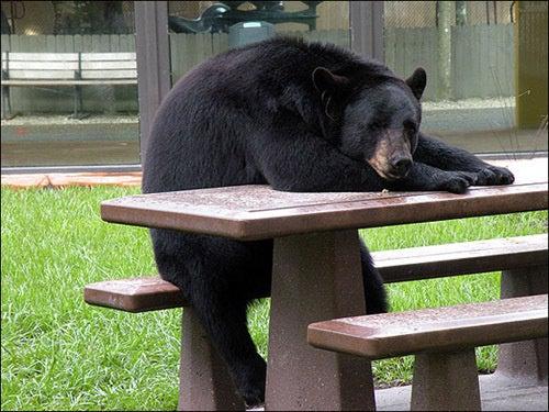 Montana Black Bear Goes on Burglary Spree Hunting for Frozen Pizza