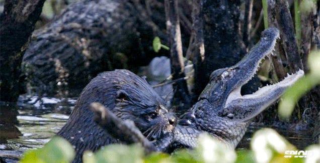 Otter kills and eats a young alligator after violent struggle