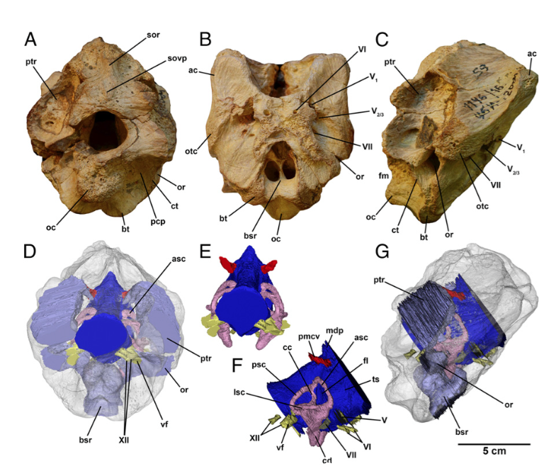 Behold Timurlengia—the Elusive Missing Link in Tyrannosaur Evolution