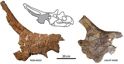 Mercuriceratops: flashy Cadillac of the late Cretaceous