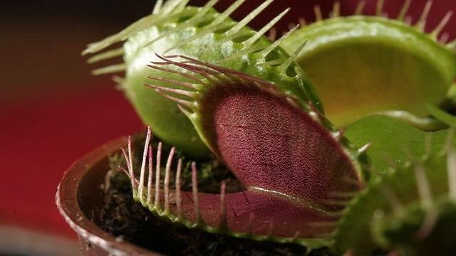 Can a venus flytrap digest human flesh?