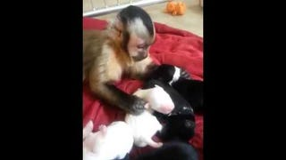 Tiny Monkey Doesn't Quite Know What to Do with All These Puppies