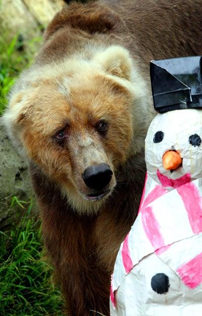 Sad Bear Ponders Ethical Ramifications of Christmastime Mauling