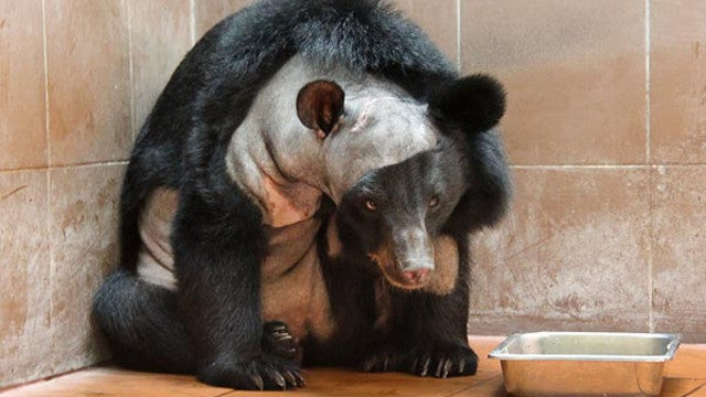 This is the first bear to ever have brain surgery