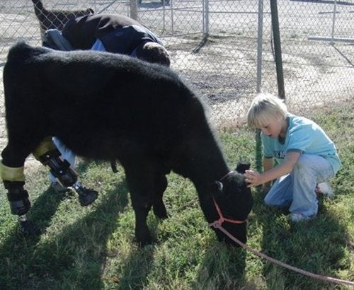 Calf Gets Prosthetic Limbs, Presumably So it Can Spend a Few Months Getting More Delicious