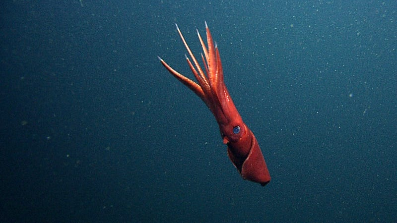 Scientists discover bisexual squid of the deep