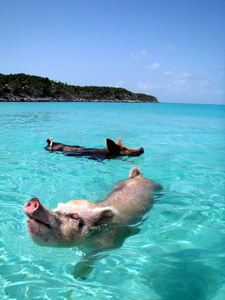 Tengerben lubickoló malacok lakják a világ legcukibb trópusi szigetét
