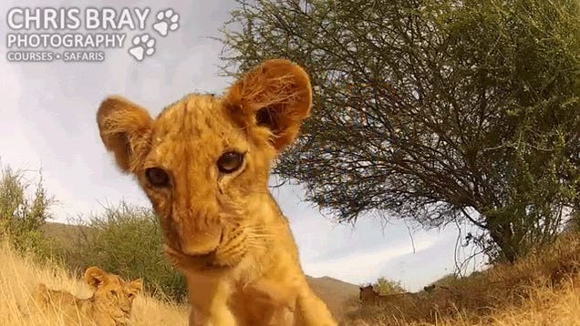 An adorable lion cub waves hi to a GoPro camera