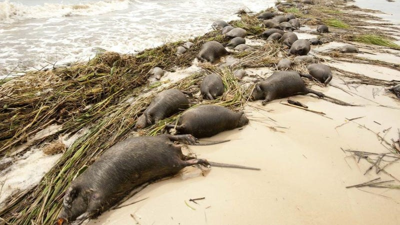 Tons of bloated rat carcasses drift ashore in wake of Hurricane Isaac