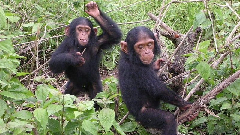 The man who tried to make human-ape hybrids