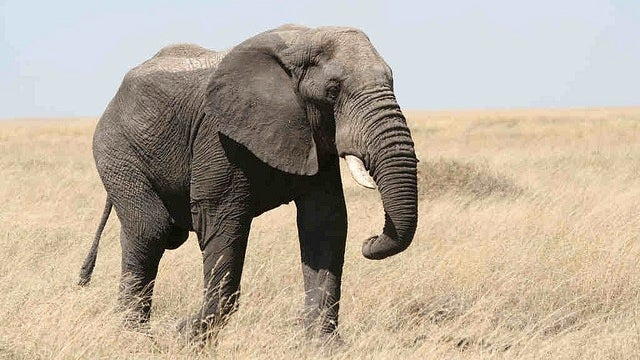 Sorry, but elephants really want nothing to do with us