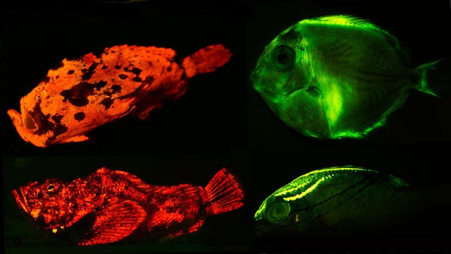 Stolen Ferrets, Fluorescent Fish, and the Upside of Cold