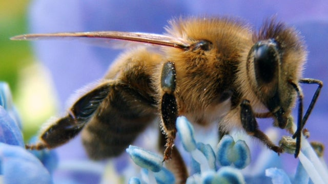New Evidence that Our Insecticides are Killing Off the Bees
