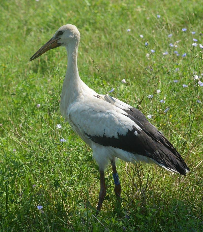 Kövessétek ti is, ahogyan Hófogó, a gólya újra eltéved Afrika felé