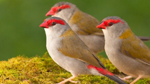 Birds are the first non-human animals to use grammar
