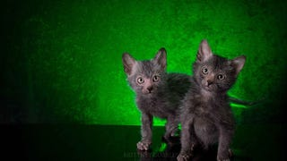 """The New """"Werewolf Cat"""" Highlights The Complicated Ethics of Breeding"""
