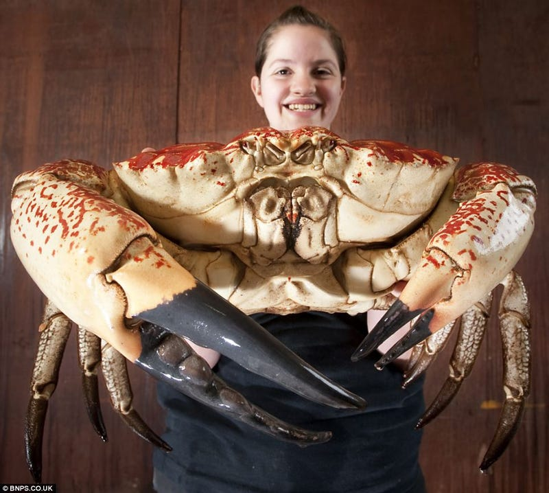 This Is Not Fancy Camerawork, Just One Giant Biggest Crustacean