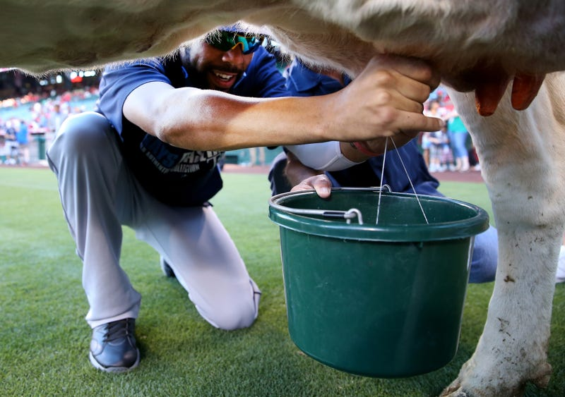 David Price Loses Cow-Milking Contest