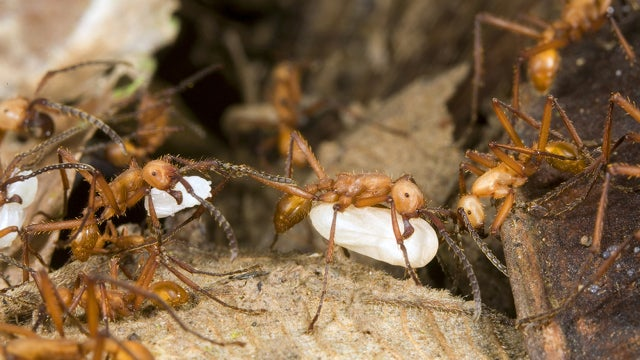 Enslaved worker ants fight back through acts of sabotage